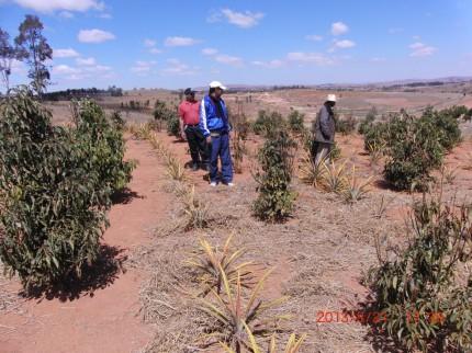 アイユーゴー事業マダガスカル パイナップル栽培